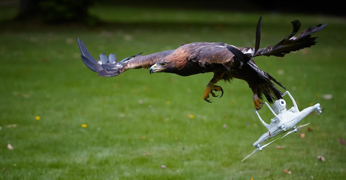 Politie stopt met inzet anti-drone roofvogels