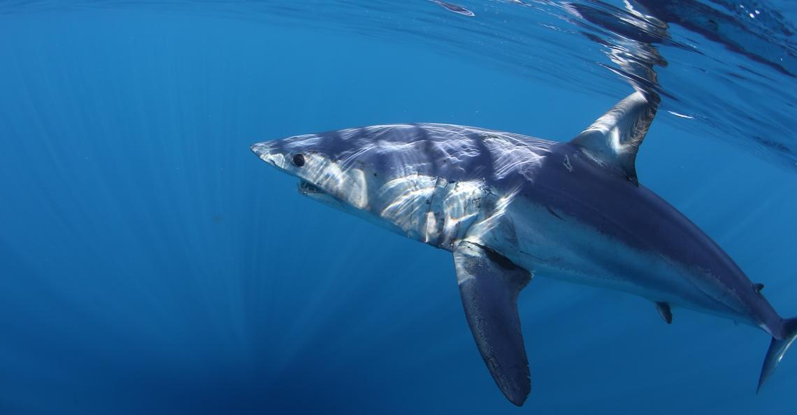 Mavic 2 Enterprise-gebruiker waarschuwt surfer voor naderende haai