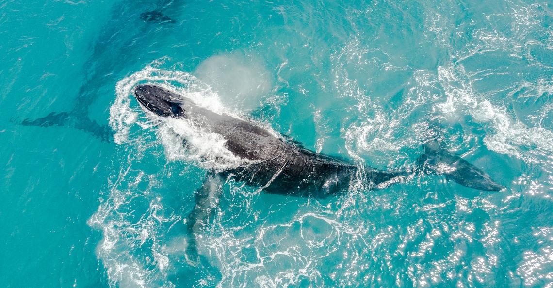 DJI Inspire ingezet om walvissen te wegen