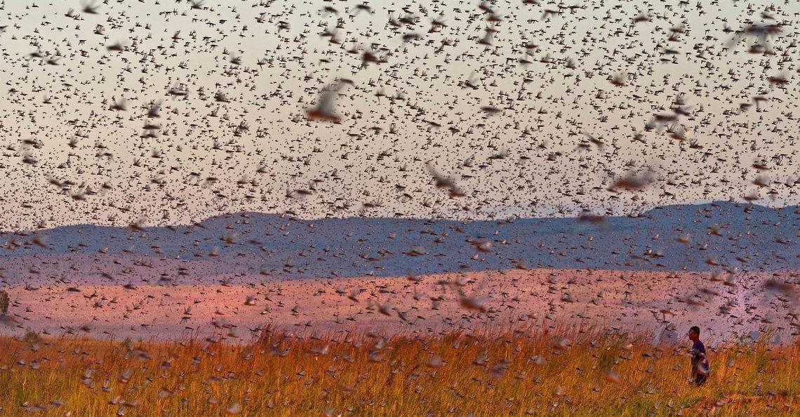 Mauritanië zet drones in tegen sprinkhanenplaag