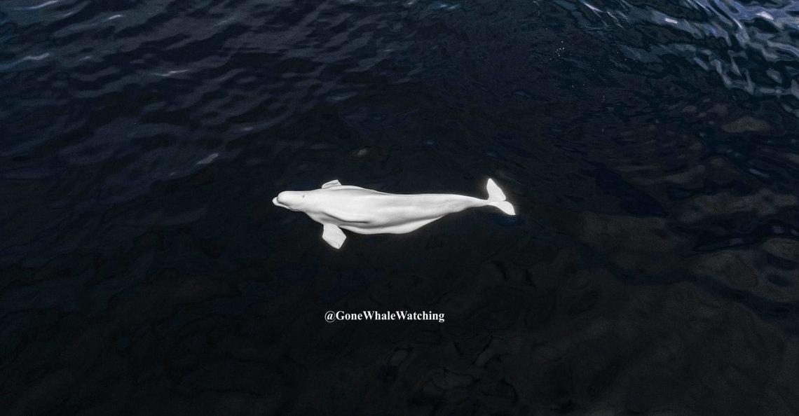 Drone legt verdwaalde Beluga-walvis vast op camera