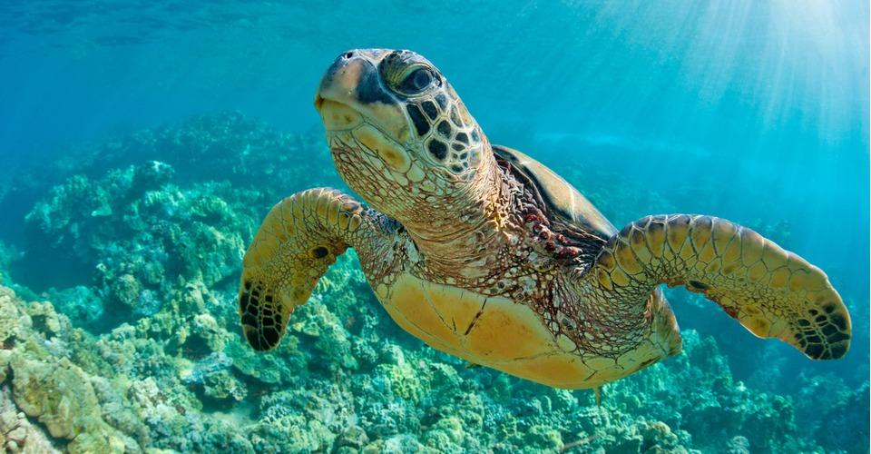 Drones helpen bij behoud broedplaats groene zeeschildpadden