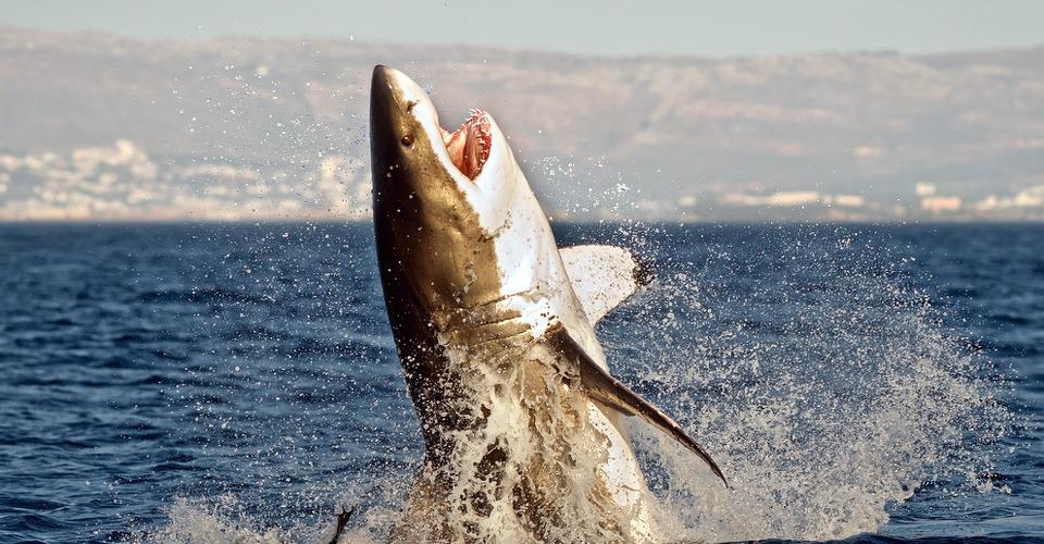 Australische drones ingezet voor voorkomen haai-aanvallen