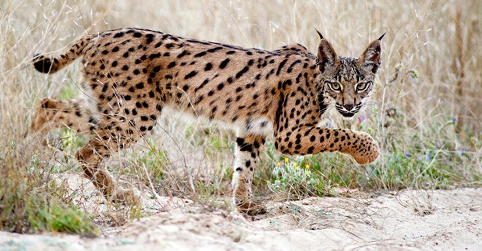 Drones moeten uitsterven Iberische Lynx voorkomen