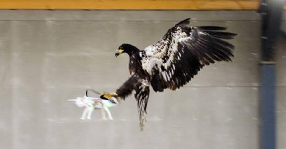 Politie wil aanslagen met drones voorkomen met roofvogels